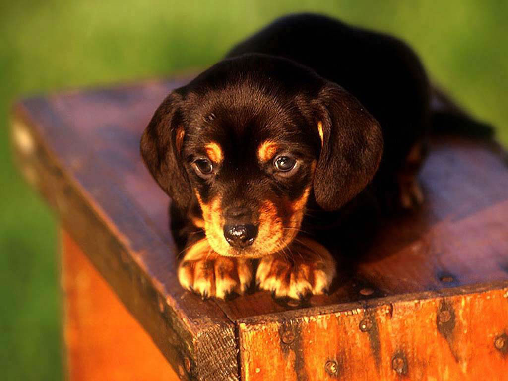 Nature Wallpaper: Puppy Dog