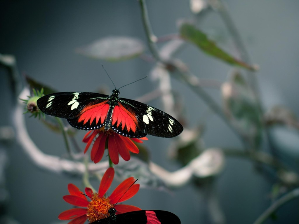 Nature Wallpaper: Butterfly