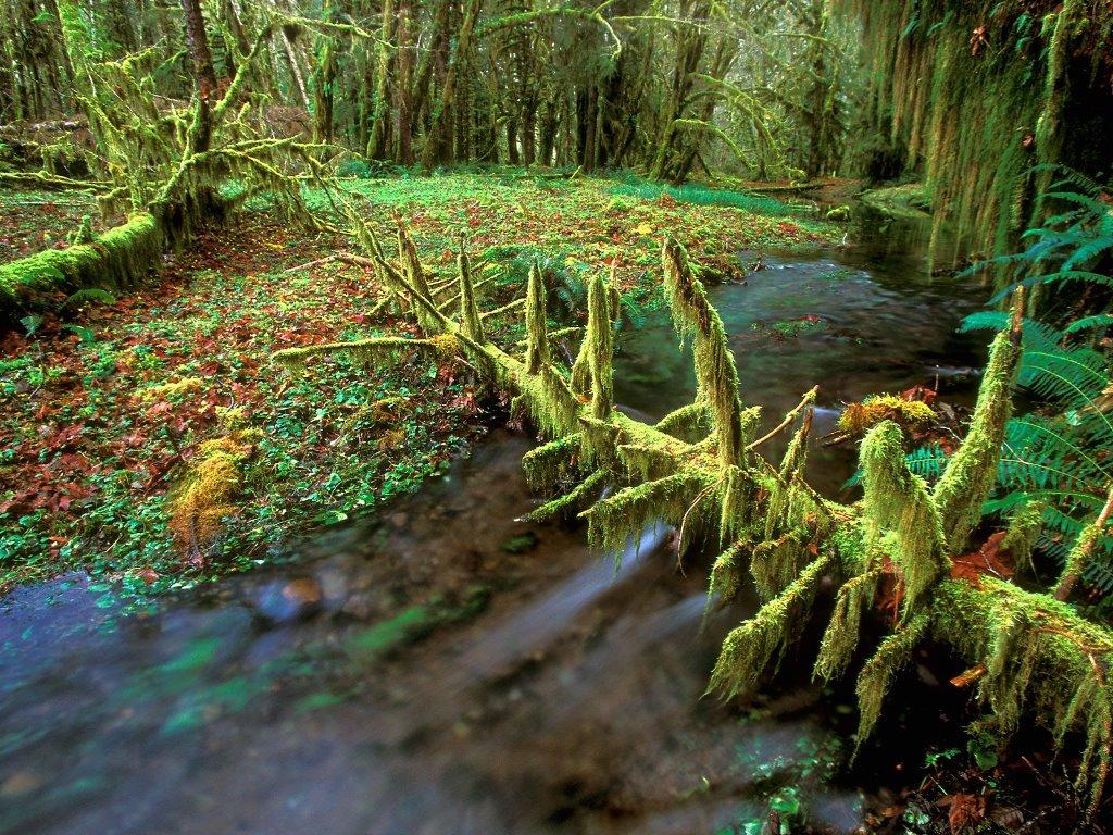 Nature Wallpaper: Quinault Rainforest