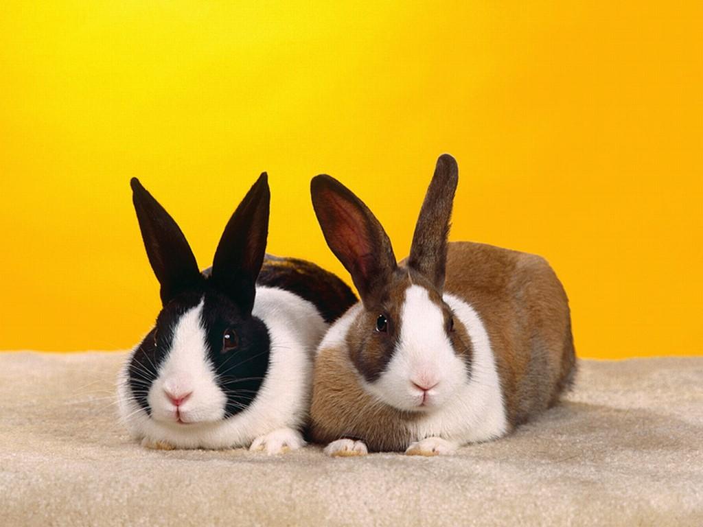 Nature Wallpaper: Rabbits