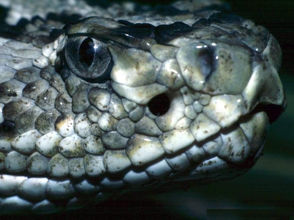 Nature Wallpaper: Rattlesnake