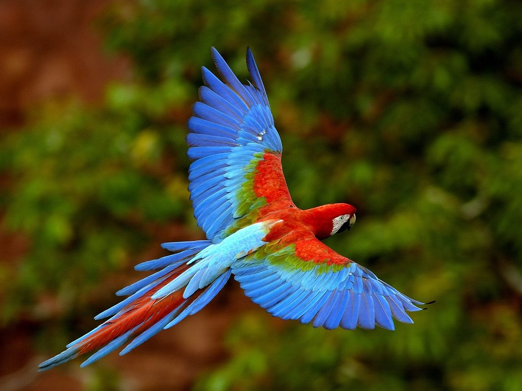 Nature Wallpaper: Red and Green Macaw