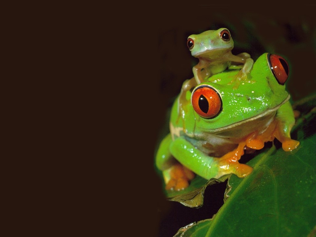 Nature Wallpaper: Red Eyed Tree Frogs