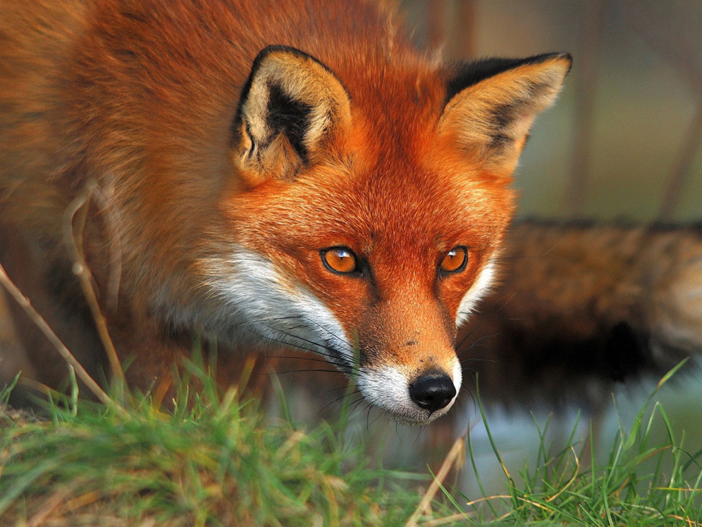 Nature Wallpaper: Red Fox