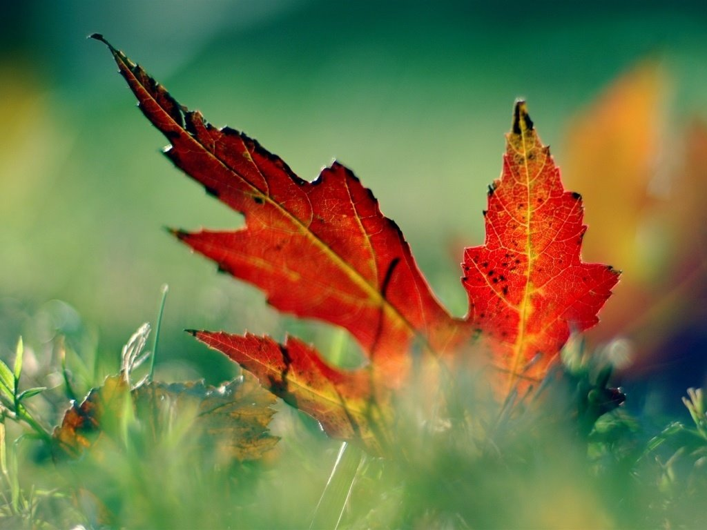 Nature Wallpaper: Red Leaf in the Grass