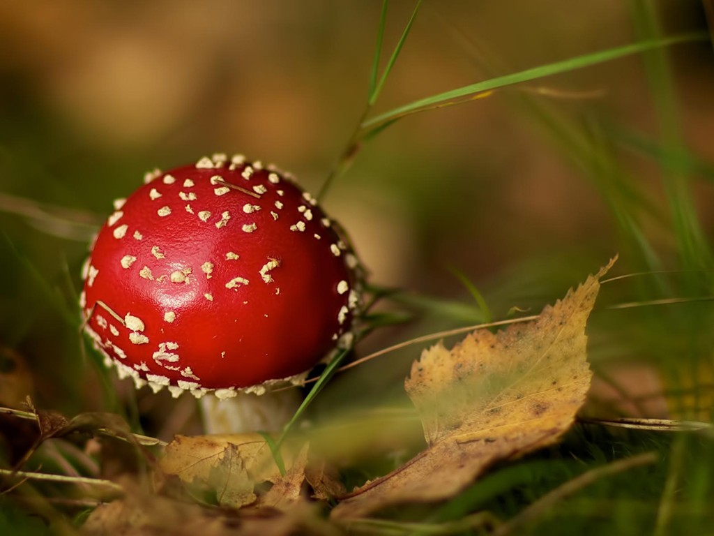 Nature Wallpaper: Red Mushroom