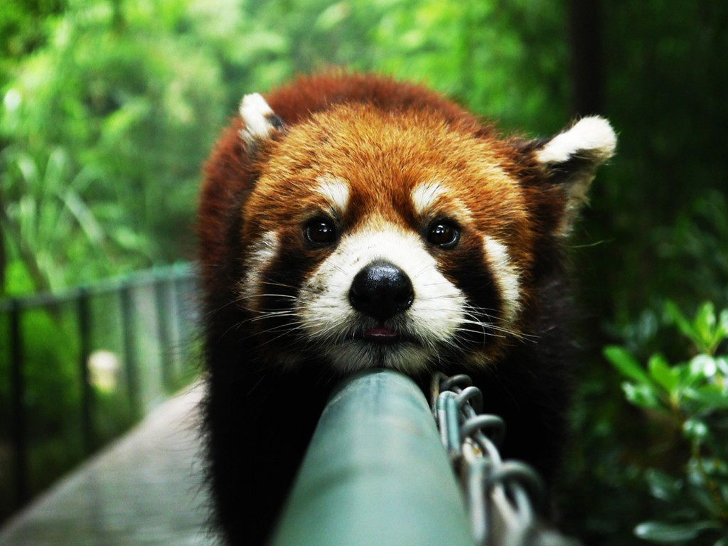 Nature Wallpaper: Red Panda