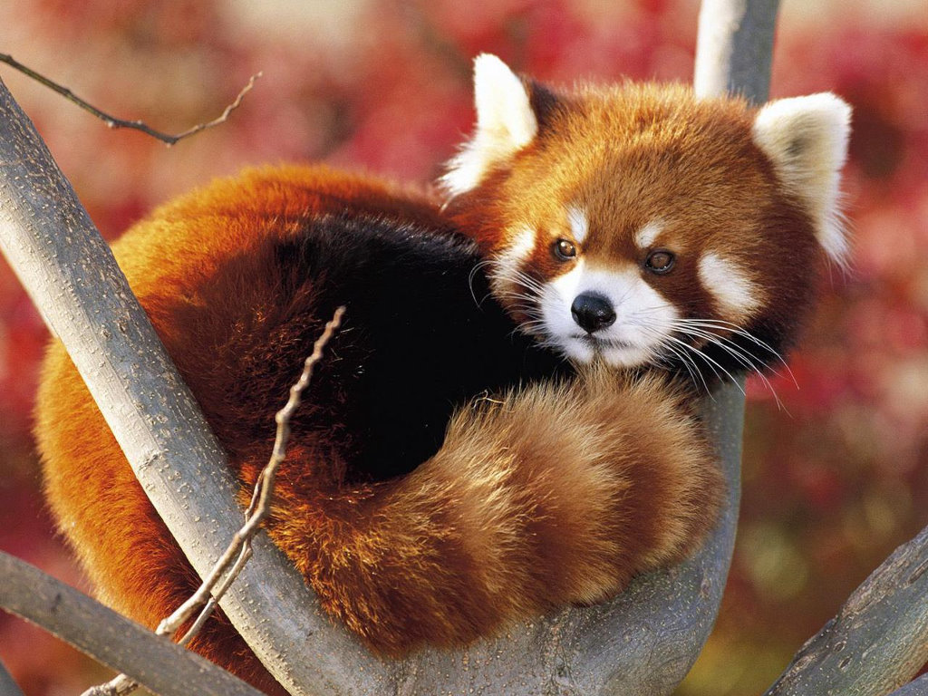 Nature Wallpaper: Red Panda