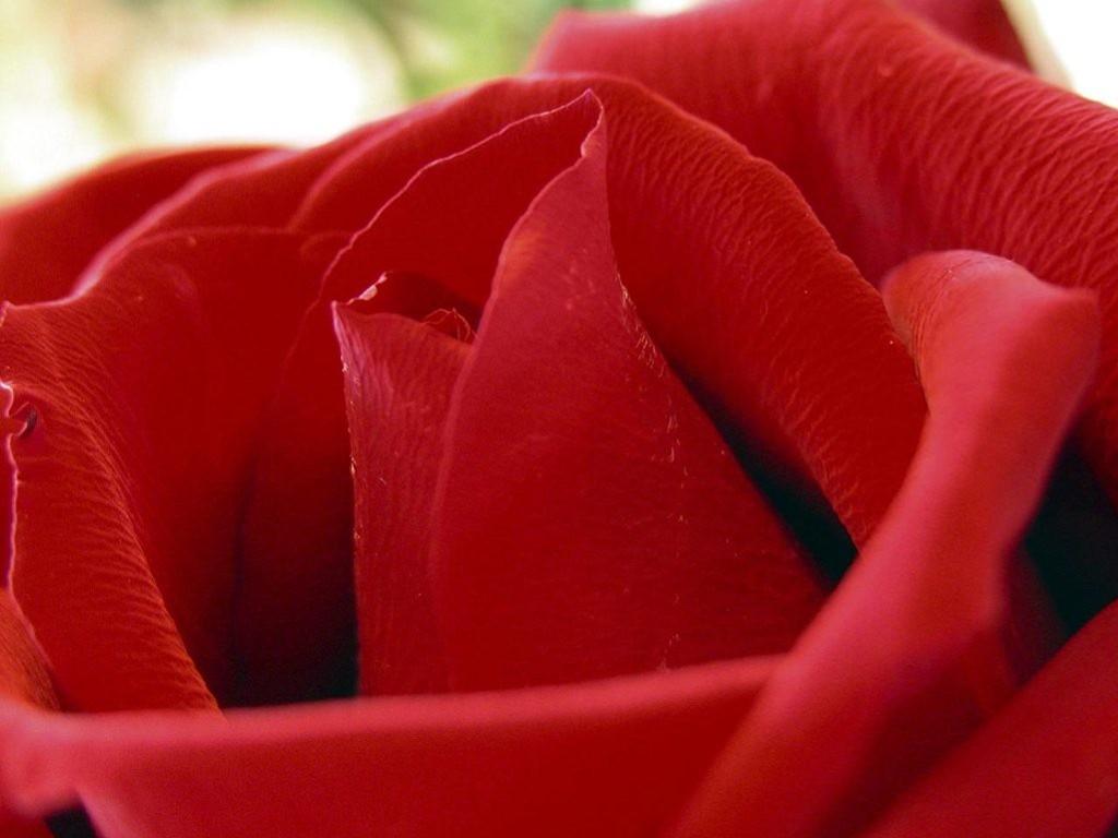 Nature Wallpaper: Red Rose