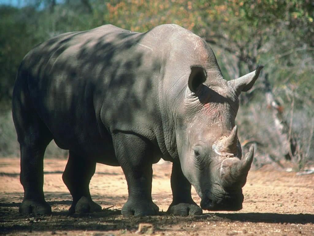 Nature Wallpaper: Rhino