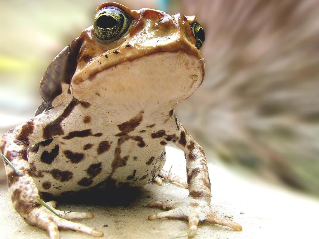Nature Wallpaper: Frog