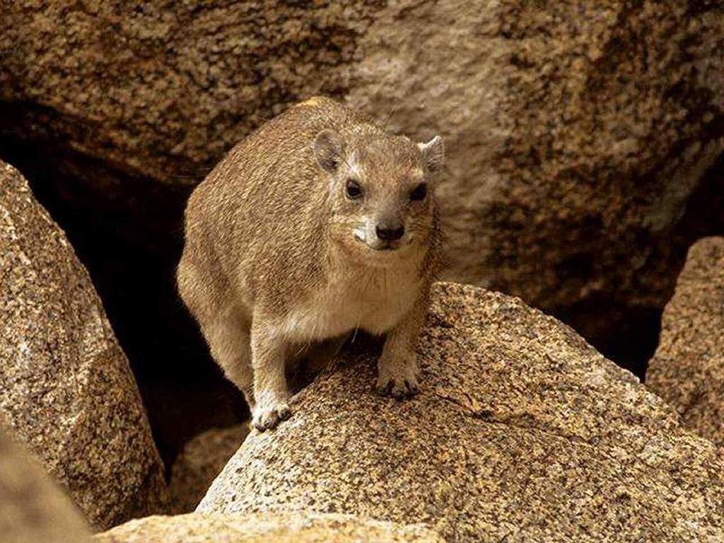 Nature Wallpaper: Rock Hyrax