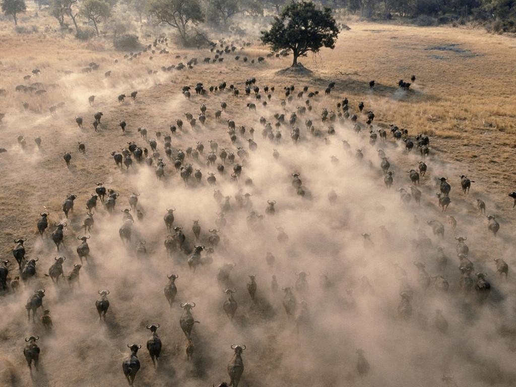 Nature Wallpaper: Buffalos