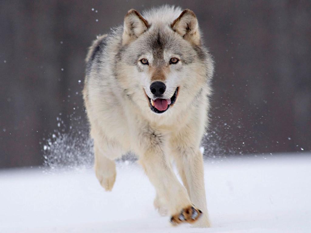 Nature Wallpaper: Running Wolf