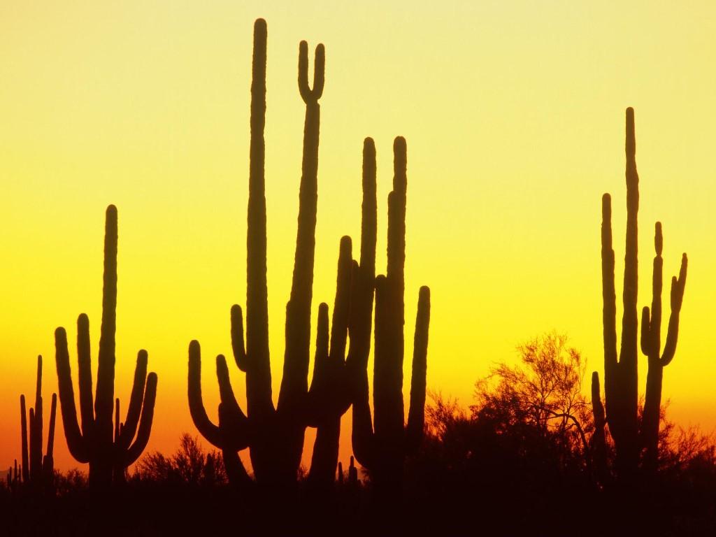 Nature Wallpaper: Saguaro Cactus