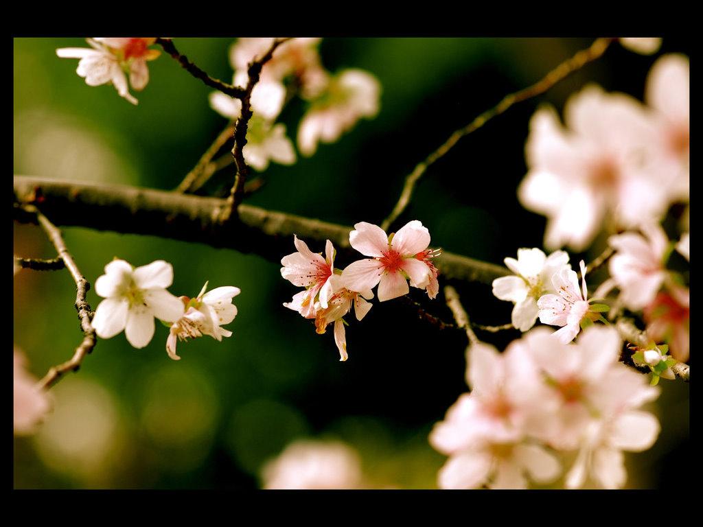 Nature Wallpaper: Sakura Flowers