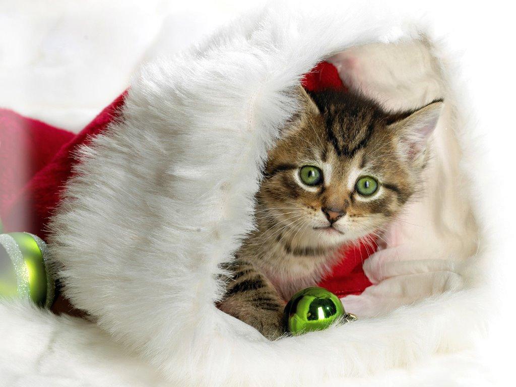 Nature Wallpaper: Santa Cat