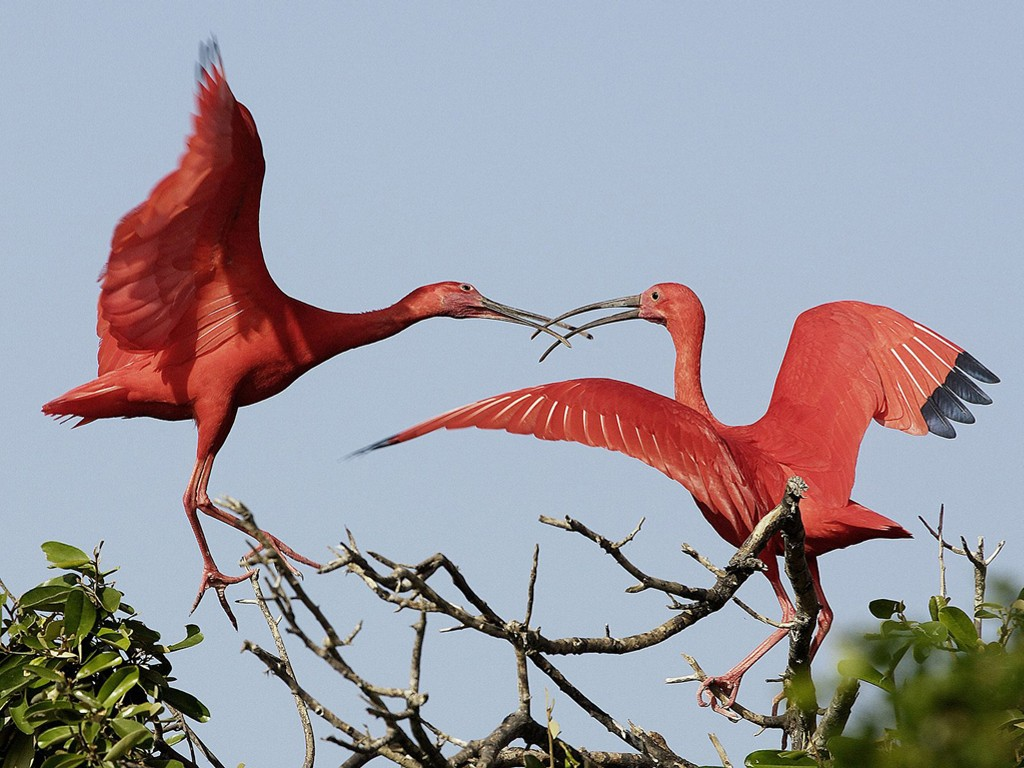 Nature Wallpaper: Scarlet Ibises - Venezuela