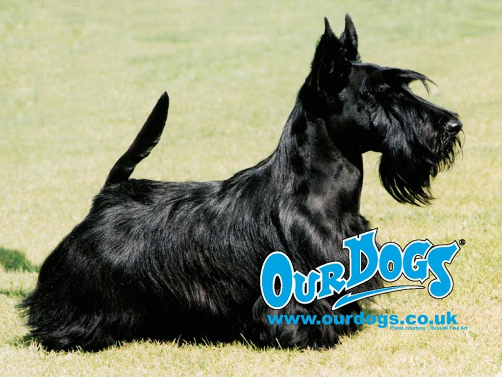 Nature Wallpaper: Scottish Terrier