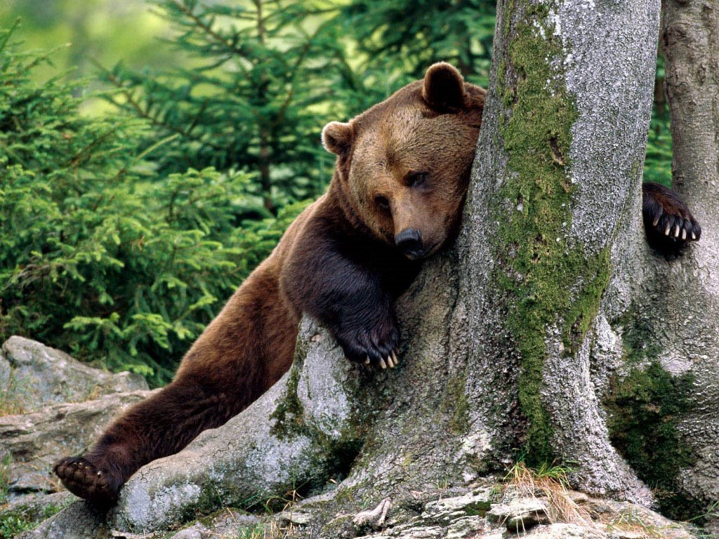 Nature Wallpaper: Scratching Bear