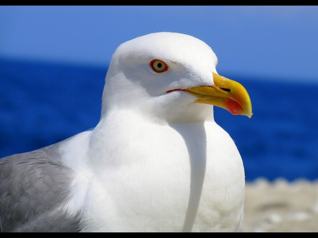 Nature Wallpaper: Sea Gull