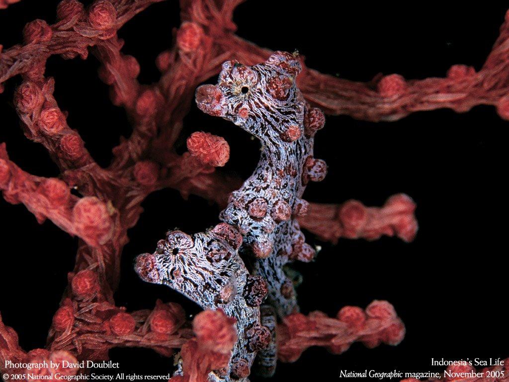 Nature Wallpaper: Seahorse