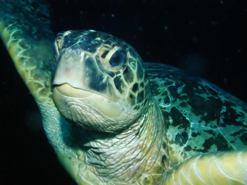 Nature Wallpaper: Sea Turtle