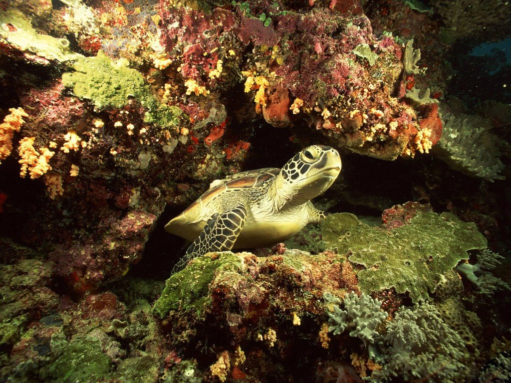 Nature Wallpaper: Sea Turtle