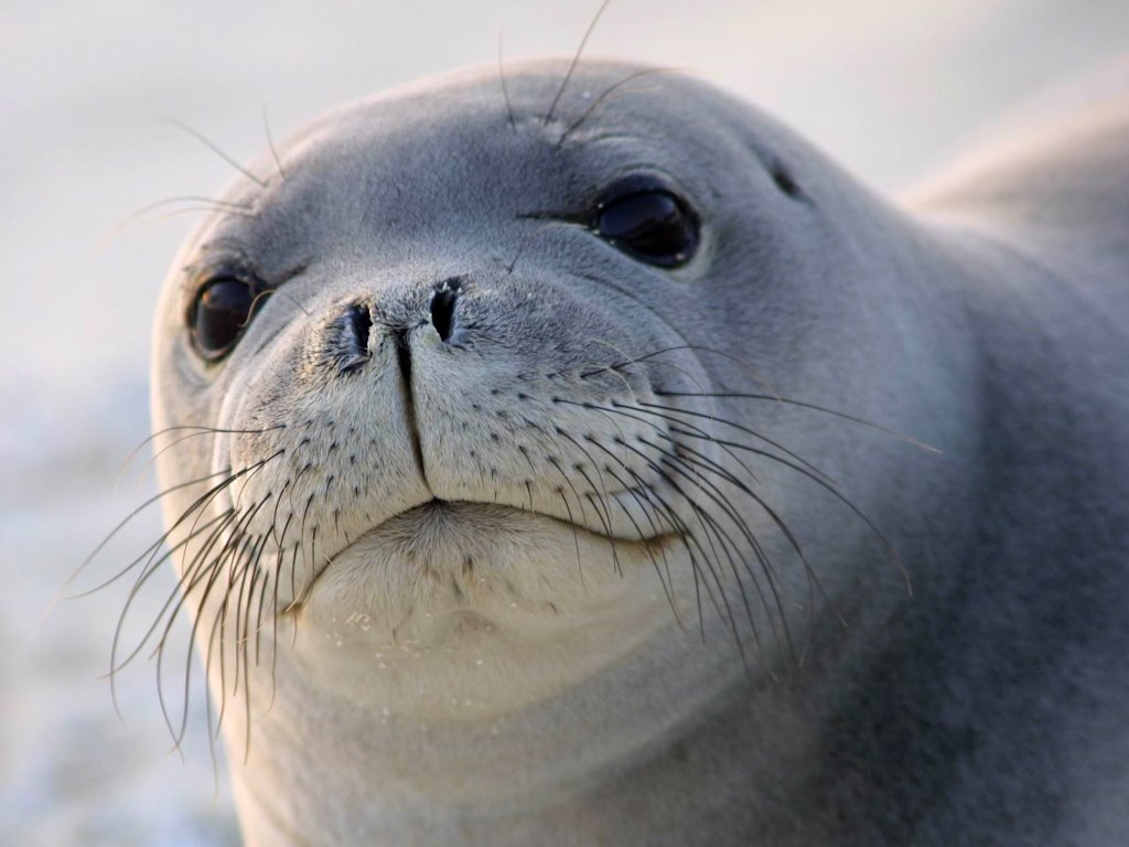 Nature Wallpaper: Seal