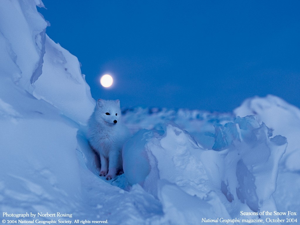 Nature Wallpaper: Seasons of the Snow Fox