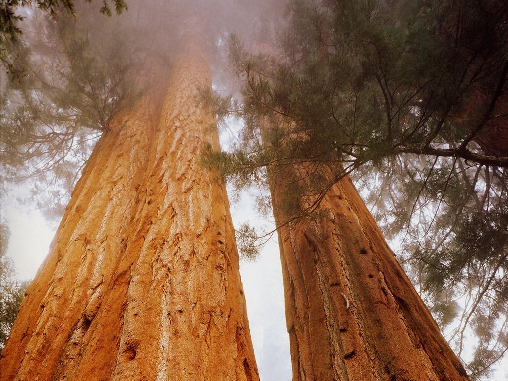 Nature Wallpaper: Sequoias