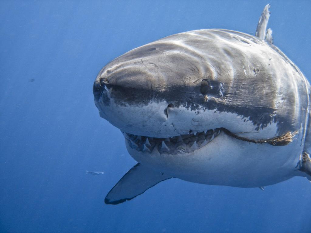 Nature Wallpaper: Shark