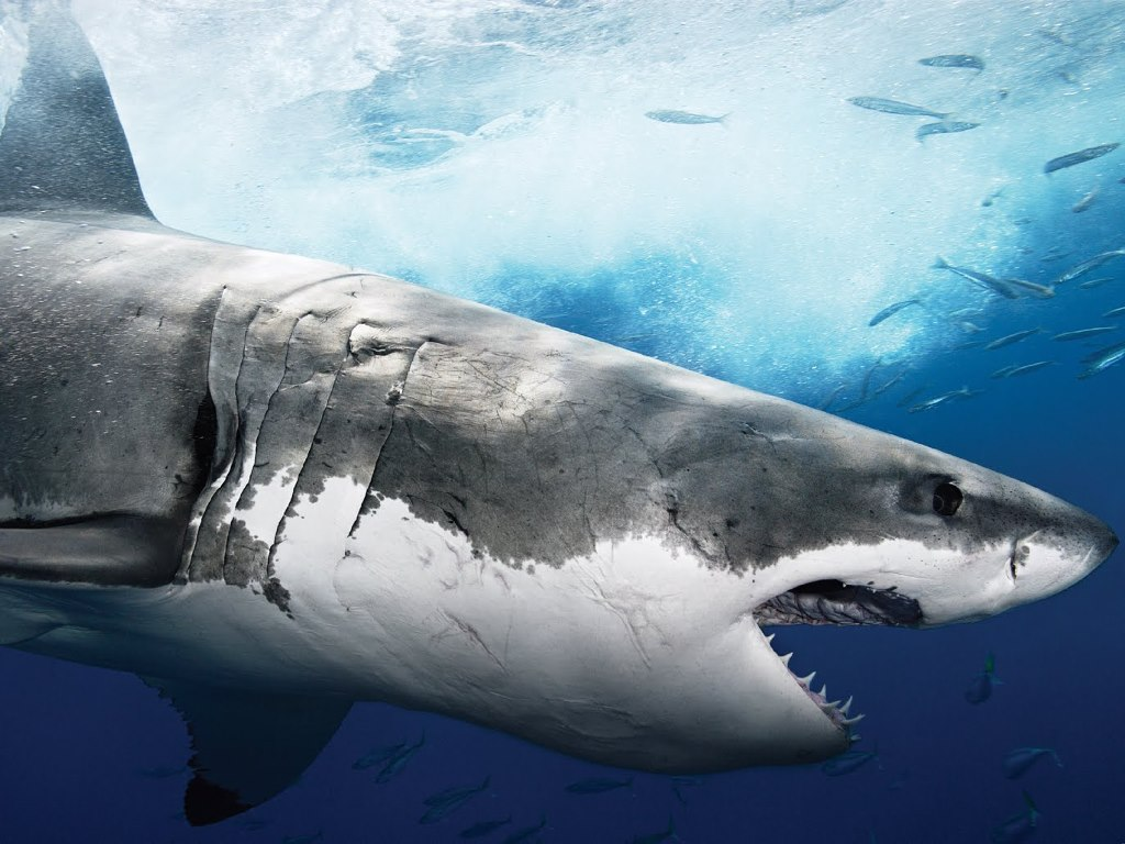 Nature Wallpaper: Shark