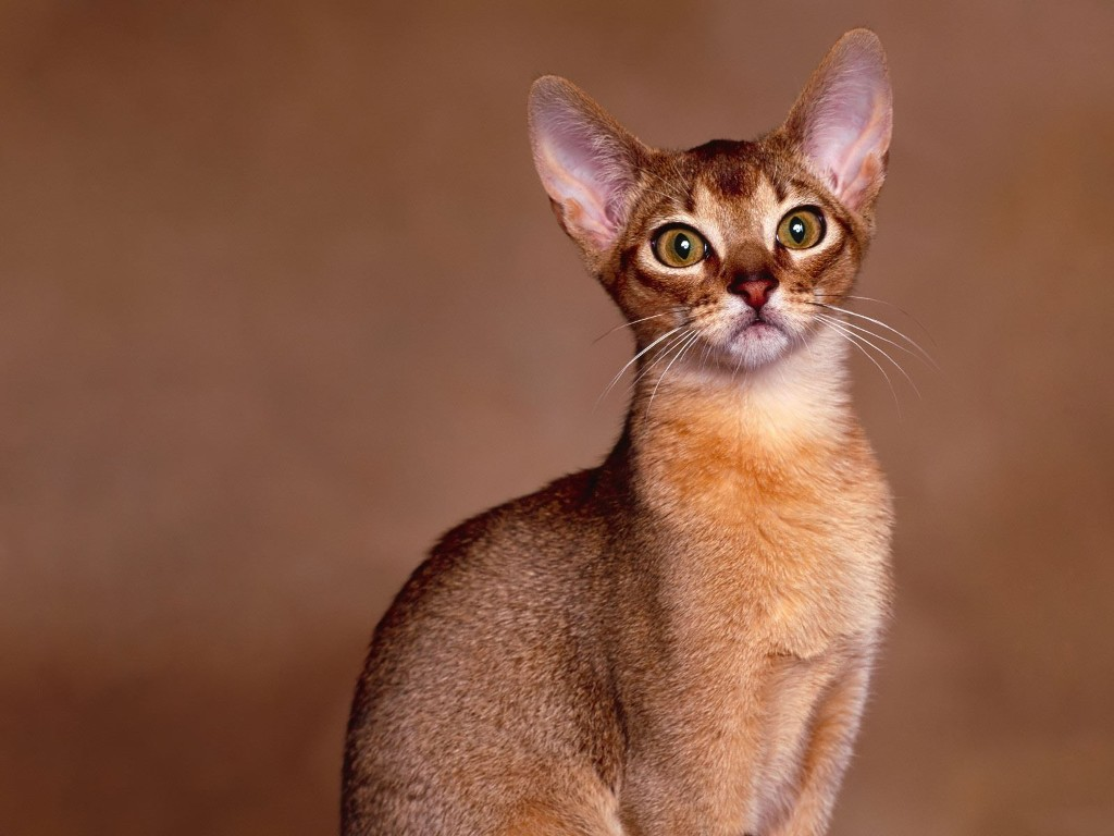 Nature Wallpaper: Shorthair Cat