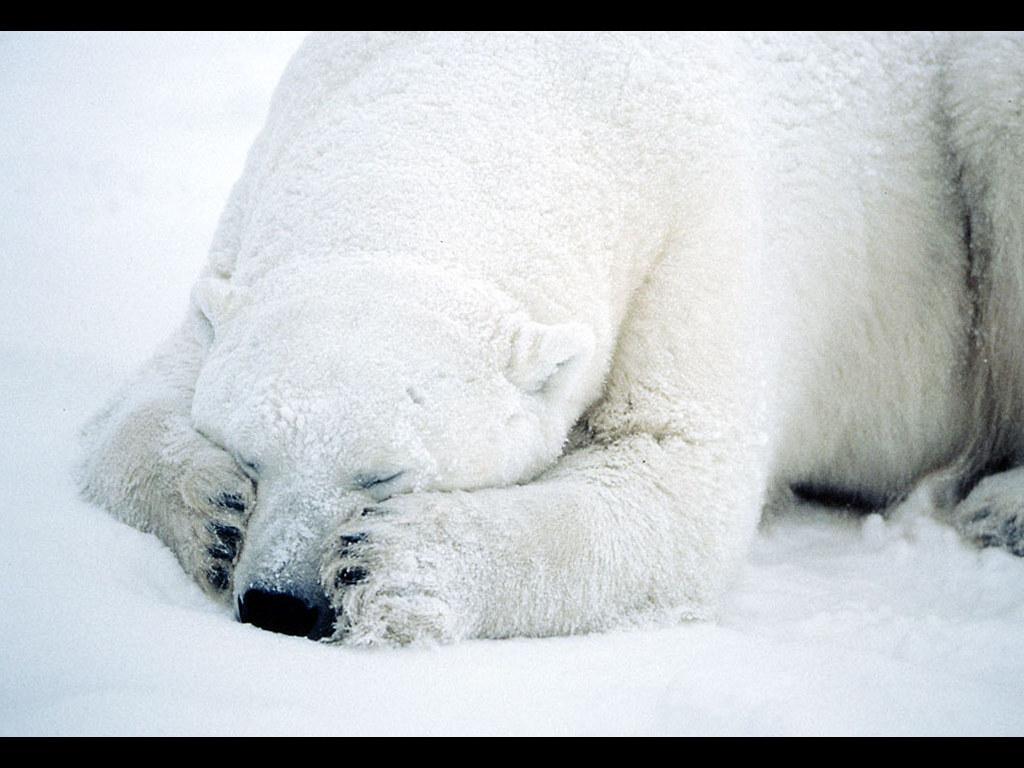 Nature Wallpaper: Shy Bear