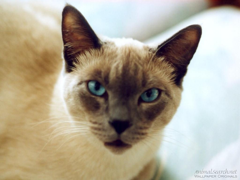Nature Wallpaper: Siamese Cat