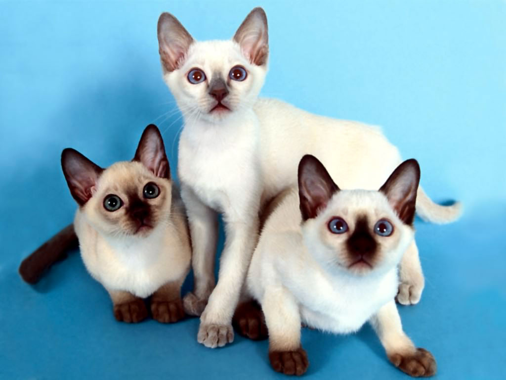 Nature Wallpaper: Siamese Cats