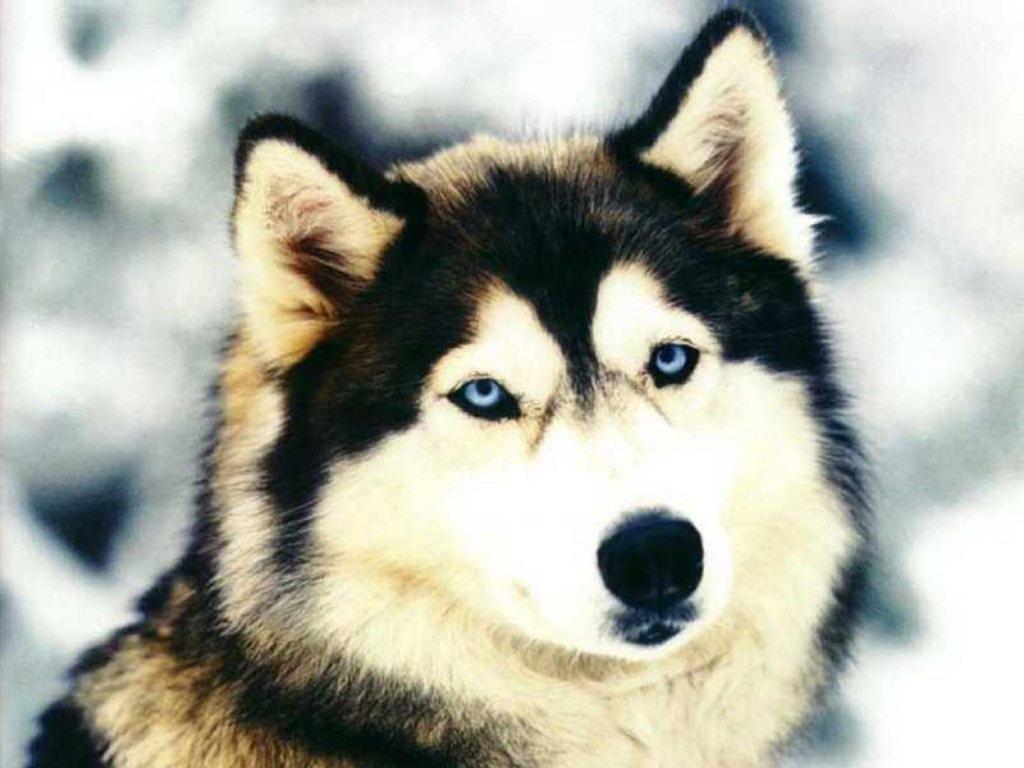 Nature Wallpaper: Siberian Husky