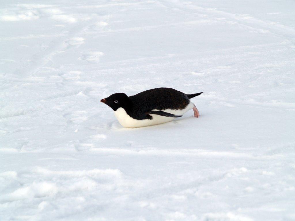 Papel de Parede Gratuito de Natureza : Pinguim