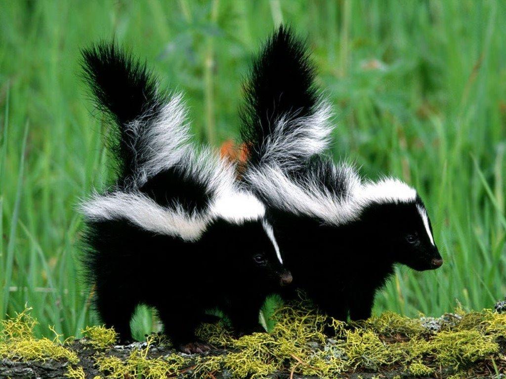 Nature Wallpaper: Skunks