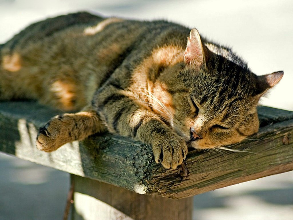 Nature Wallpaper: Sleeping Cat