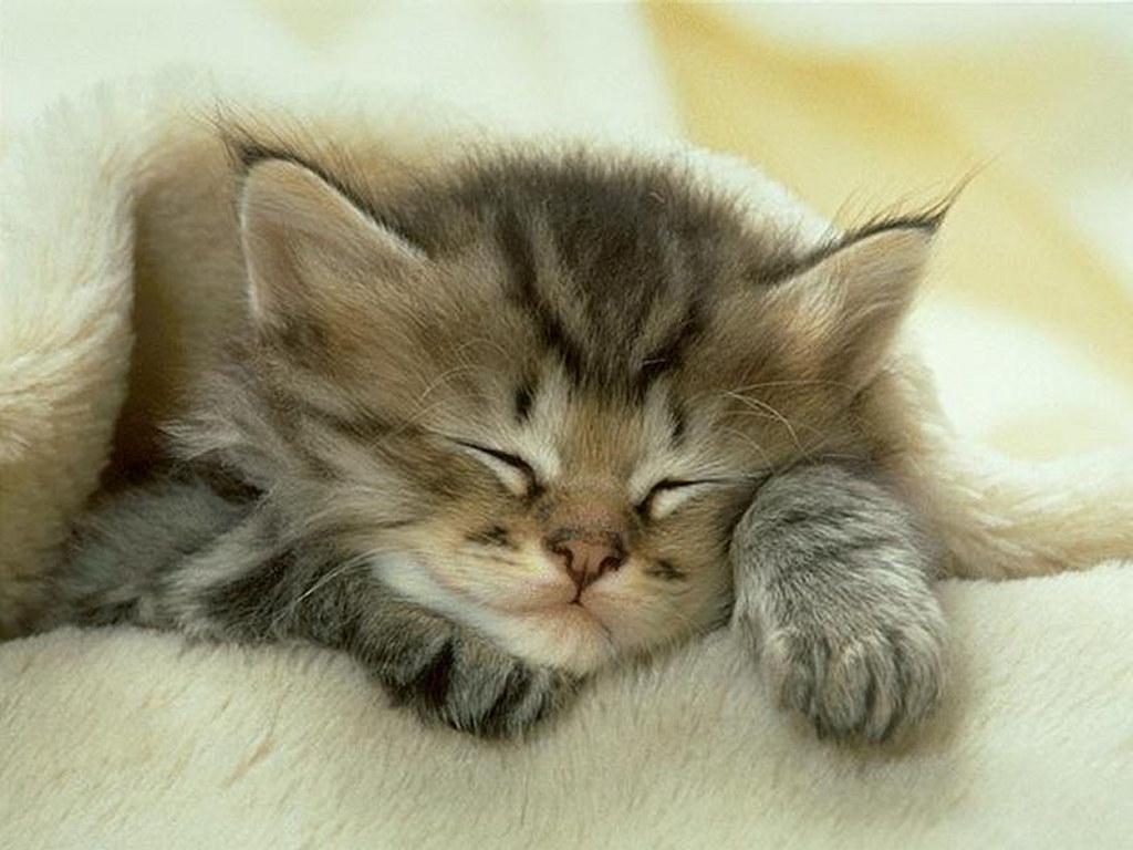 Nature Wallpaper: Sleeping Cat