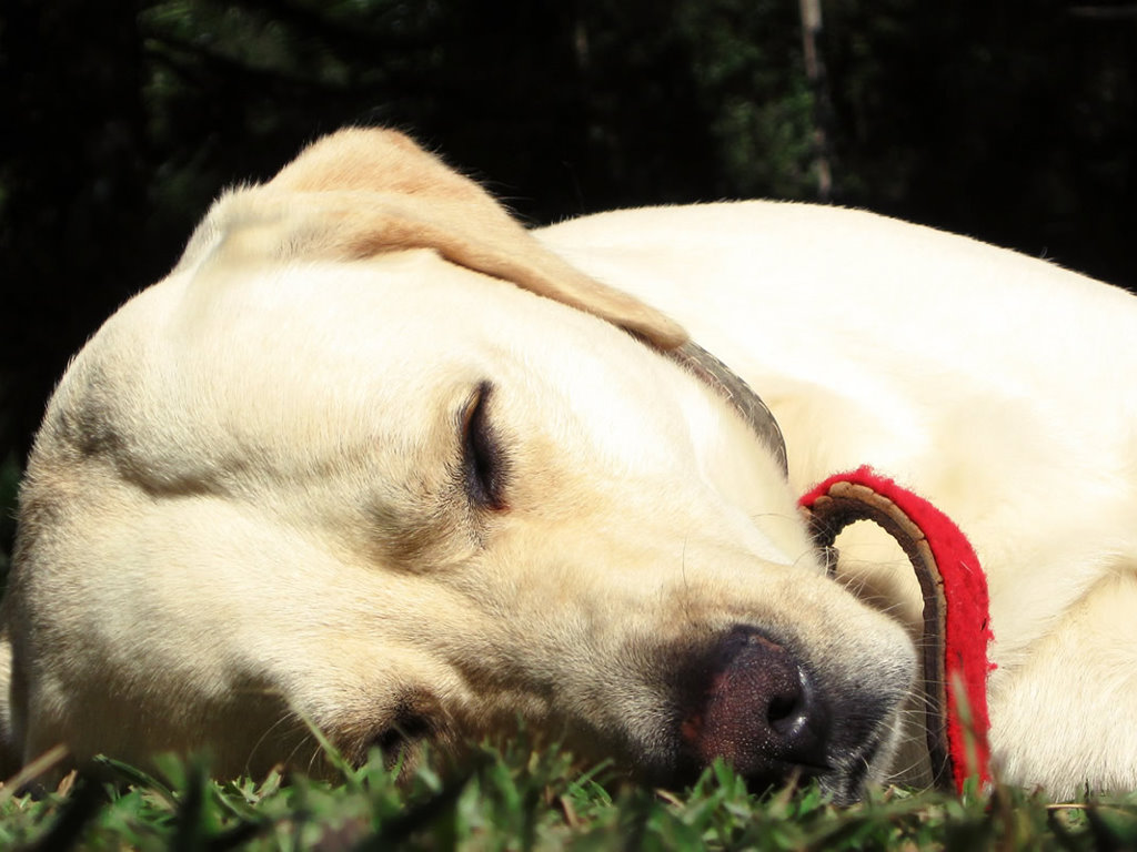 Nature Wallpaper: Sleeping Dog
