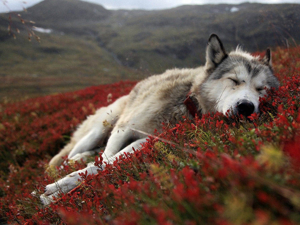 Nature Wallpaper: Sleeping Dog