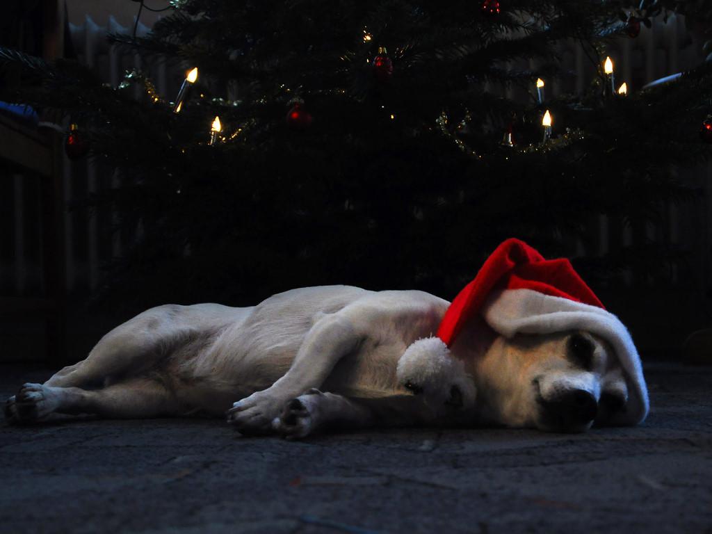 Nature Wallpaper: Sleeping Dog - Merry Christmas