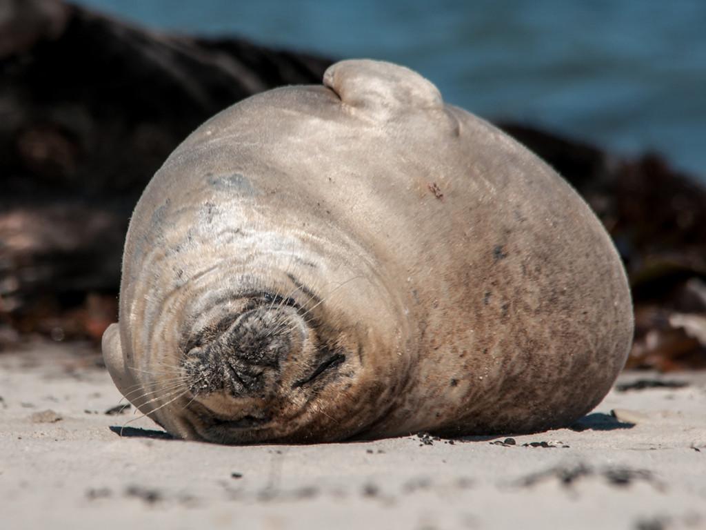 Nature Wallpaper: Sleepy Seal