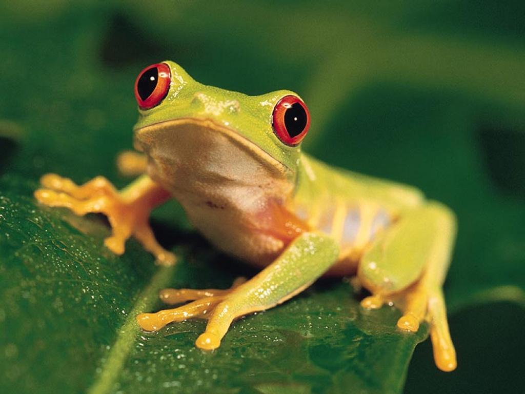 Nature Wallpaper: Small Frog