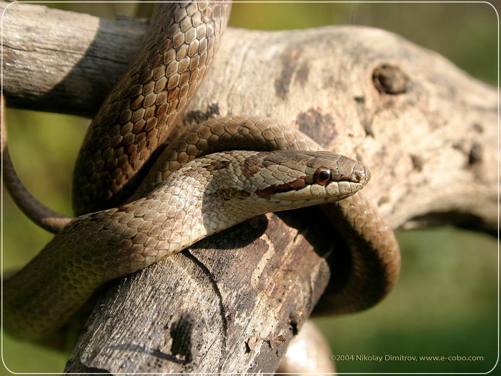 Nature Wallpaper: Snake - Tree