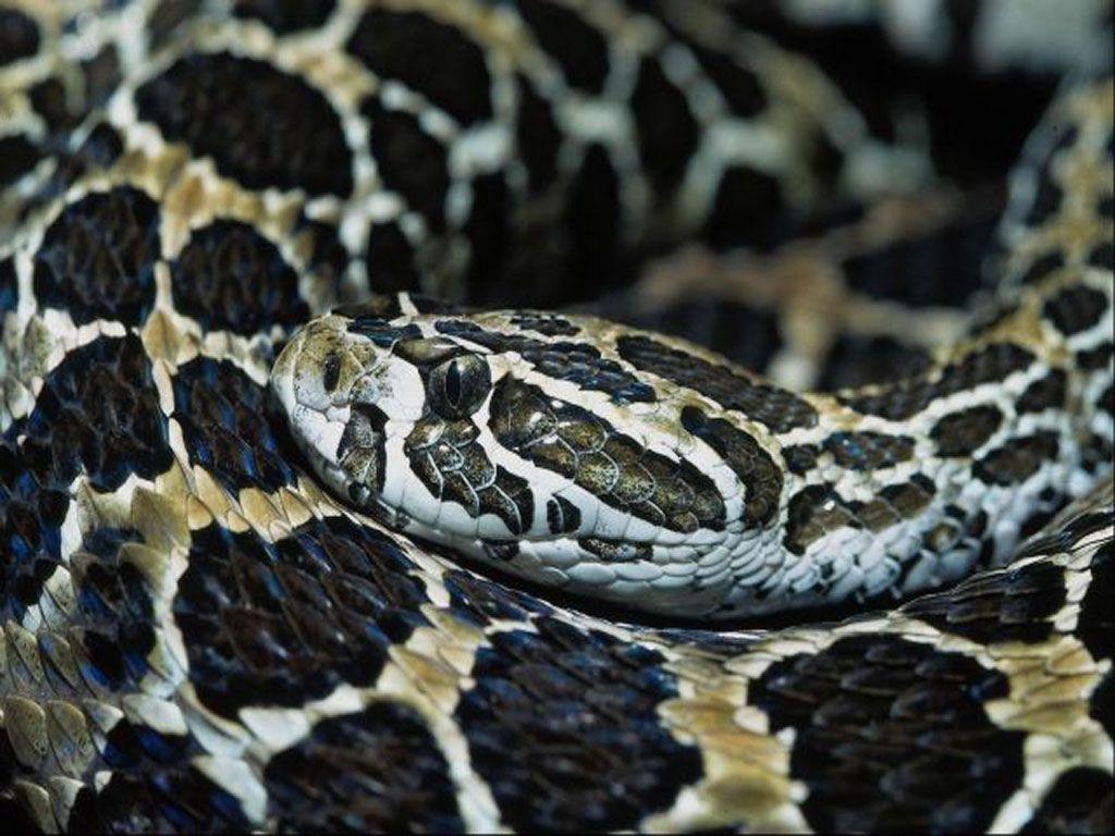 Nature Wallpaper: Snake