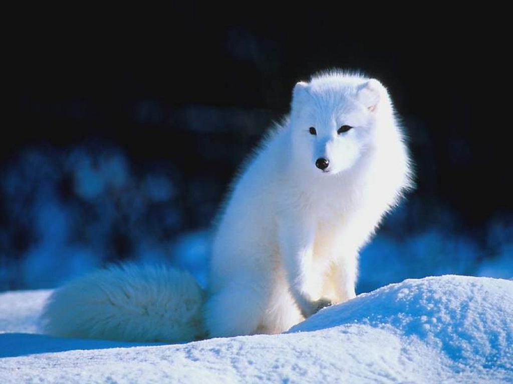 Nature Wallpaper: Snow Fox
